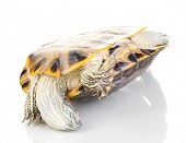 stock photo of terrapin turtle  - red ear turtle isolated on white - JPG