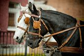 stock photo of carriage horse  - horses in a carriage close up raven and gray - JPG