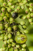 stock photo of shield-bug  - Young and adult shield bugs Pentatomoidea stink bugs on green berries - JPG