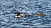 pic of loon  - Adult loon swims with her young loon on the lake