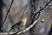 stock photo of brown thrush  - Song Thrush  - JPG