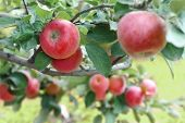 stock photo of cider apples  - Beautiful red - JPG