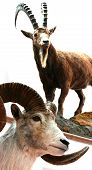 image of taxidermy  - Sheep bighorn trophy room animals taxidermy objects.