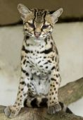 stock photo of ocelot  - margay cat or caucel or leopardus wiedii curiously looking at camera - JPG