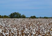 Field Of Cotton Ready To Harvest