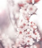 Image of beautiful cherry blossom, abstract natural background, fine art, spring time season, apple
