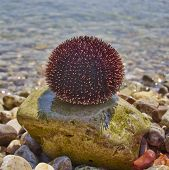 sea urchin on pebble