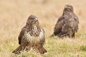 pic of buzzard  - Common buzzard wild birds nature photo (buteo buteo specie)