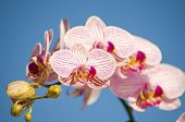 foto of orquidea  - A close up of a branch with blossomed pink striped petals of the beautiful flower orchid Phalaenopsis - JPG