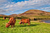 foto of highland-cattle  - Highland angus cow grazing green grass on a farm grassland - JPG