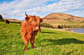 foto of hirsutes  - Highland angus cow grazing green grass on a farm grassland - JPG