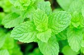 stock photo of mint-green  - fresh green mint plant grow at vegetable garden - JPG