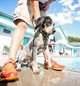 pic of coon dog  -  a cute dog having fun at a local public pool  - JPG