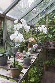 stock photo of workbench  - Flowering orchid on workbench in greenhouse - JPG