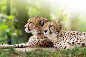 pic of cheetah  - Cheetahs - JPG