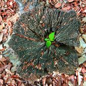image of afforestation  - Young tree seedling grow from old stump - JPG