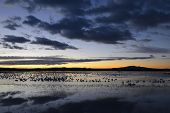 image of apache  - Snow geese awaiting take - JPG