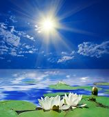 stock photo of water lily  - two white lily by a sunny day - JPG