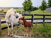 picture of bluegrass  - Mare and her colt by the fence on a farm in Central Kentucky - JPG