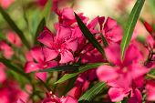 foto of oleander  - Oleander Flowers pink green sunlight nature greece - JPG