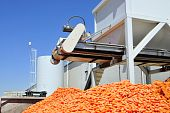 Carrots on Conveyor Belt
