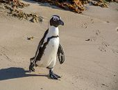 foto of jackass  - An African Penguin at Boulders Beach Penguin Colony,  South Africa
