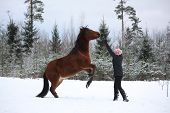 foto of bay horse  - Teenager girl commanding bay horse to rear in winter forest  - JPG