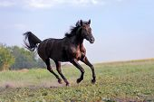 stock photo of galloping horse  - Beautiful big black horse galloping across the field on a background of clear sky and haze - JPG