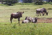 stock photo of wildebeest  - Wildebeests  - JPG