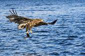 stock photo of fish-eagle  - White - JPG