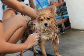 stock photo of washtub  - brown pomeranian take a shower standing portrait photo