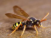 image of wood pieces  - Big Wasp On A Piece Of Wood - JPG