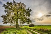 image of linden-tree  - hdr shoot of a lime tree near a road and fields in autumn - JPG
