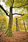 stock photo of glow-worm  - HDR shoot of a beech forest in autumn - JPG