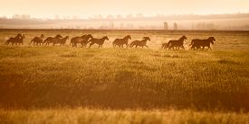 picture of fillies  - Herd of horses gallop across an open field in the sunshine - JPG