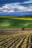 pic of southern  - Rolling sunny hills with field  and tree suitable for backgrounds or wallpapers - JPG