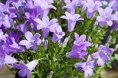 stock photo of harebell  - gardening - JPG