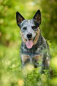 foto of heeler  - Summer beauty portrait of Australian cattle dog  - JPG