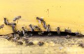 image of honey bee hive  - Honey bees are flying in and out of an yellow hive gathering pollen for honey.
