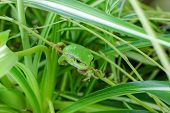 picture of prince charming  - Little green frog looking and does not move until the danger passes - JPG