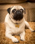 picture of pug  - A Pug dog laying on a rug - JPG