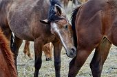 picture of herd horses  - A wild herd of horses with one horse biting the other one - JPG