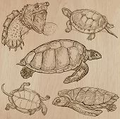 stock photo of terrapin turtle  - TURTLES  - JPG