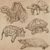 picture of terrapin turtle  - TURTLES  - JPG