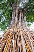 picture of crutch  - Crutches bodhi tree Tradition Thai in north of Thailand - JPG