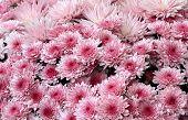 image of cluster  - beautiful clustered pink chrysanthemums blooming in spring  - JPG