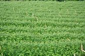 image of serbia  - Raspberry field from above in western Serbia - JPG