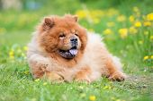 picture of chow-chow  - red chow chow dog outdoors in summer - JPG