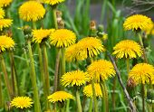 picture of dandelion  - Dandelions in the meadow. Bright flowers dandelions on background of green meadows. ** Note: Soft Focus at 100%, best at smaller sizes - JPG