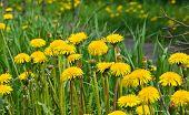 picture of dandelion  - Dandelions in the meadow - JPG